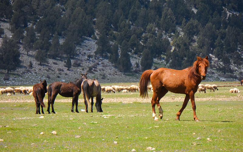 eynif yaylası yılkı atları